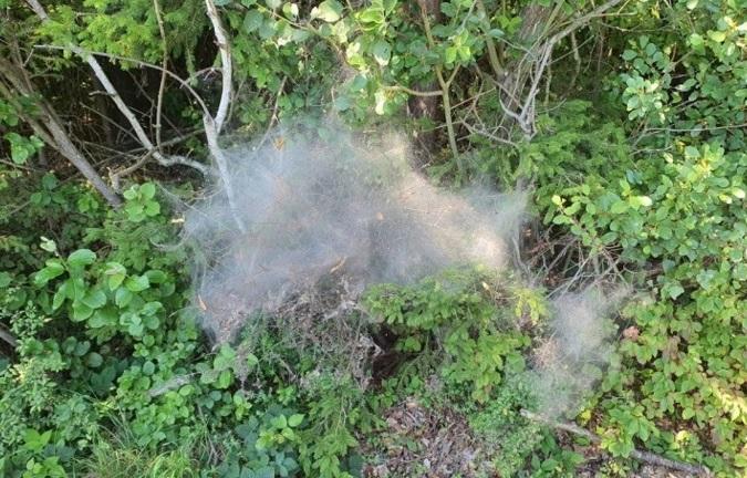 Raupennester der Gespinstmotten